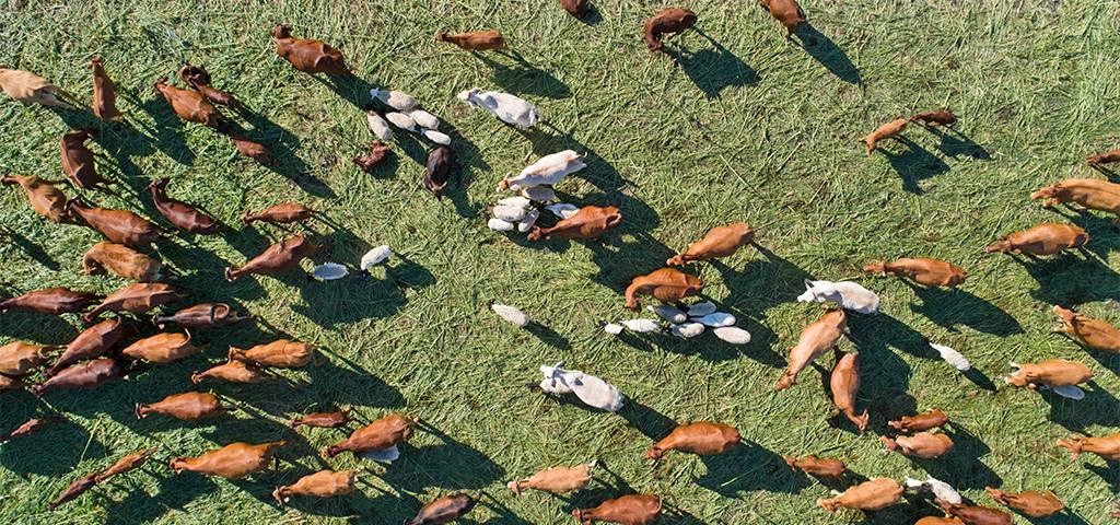 Afrika, Viehzucht