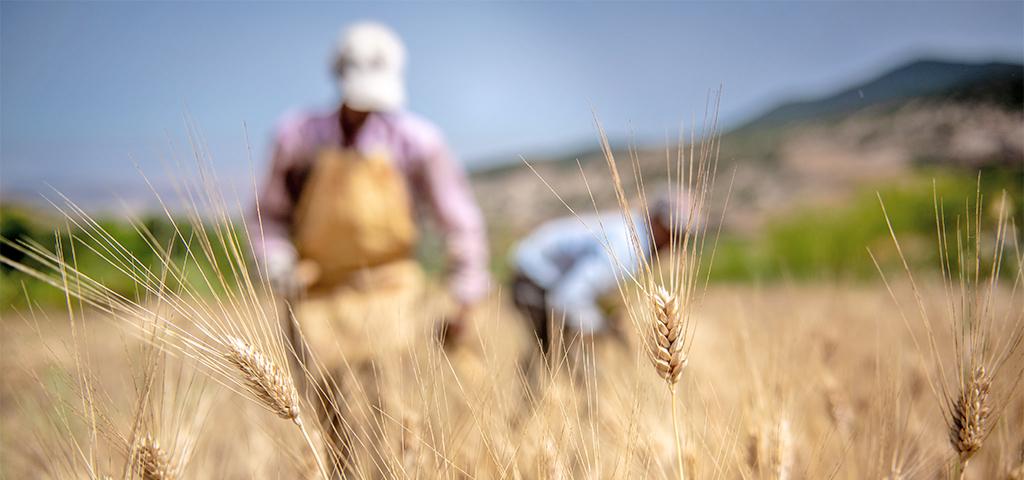 Farmarbeiter sammeln Getreide ein