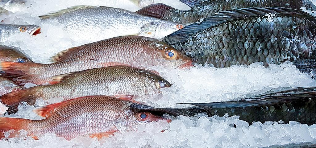 Gefrorener Frischfisch - Red Snapper, Crocker und Tilapia-Fisch im Kühlhaus